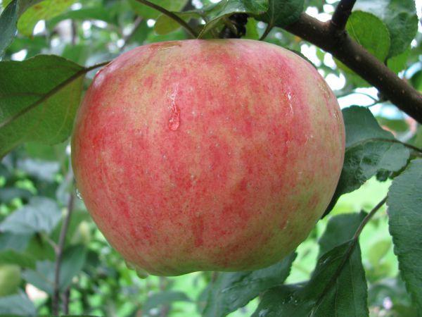 Высота яблоня подарок графскому 8